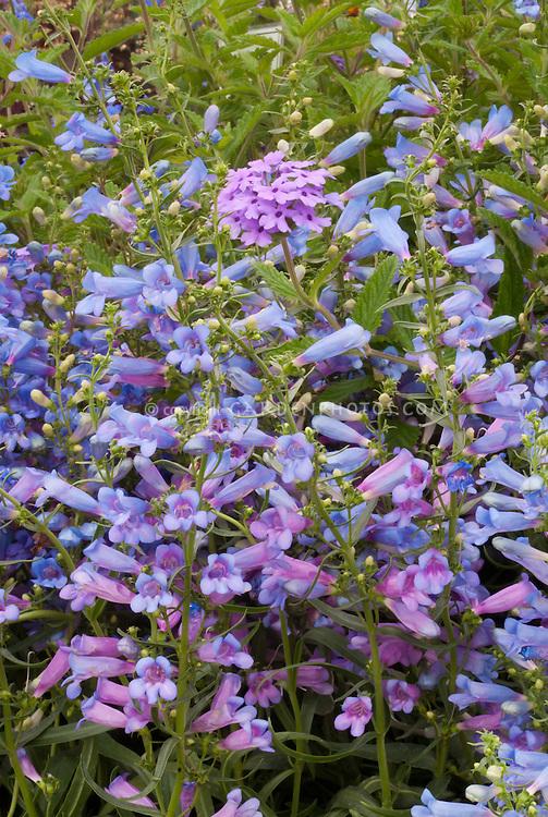Penstemon  heterophyllus 'Blue Springs', Verbena 'La France' blue and lavender pink flowers