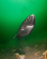 Greenland sleeper shark, Somniosus microcephalus, swims over plumose or frilled anemones, Metridium senile, St. Lawrence River estuary, Quebec, Canada (this shark was wild & unrestrained; it was not hooked and tail-roped as in most or all photos from the Arctic)