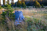 California native Sierra mountain meadow with tree stump and young pine trees