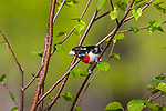 Immature male rose-breasted grosbeak perched in a speckled alder.