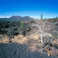 Quaking Aspen (Populus tremuloides) and Ponderosa Pine (Pinus ponderosa) Trees growing through Hardened Lava Flow in Sunset Crater Volcano National Monument, near Flagstaff, Arizona, USA