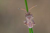 Lederwanze, Große Randwanze, Saumwanze, Leder-Wanze, Saum-Wanze, Coreus marginatus, Mesocerus marginatus, squash bug, dock bug, La corée marginée, Randwanzen, Lederwanzen, Coreidae, leaf-footed bugs
