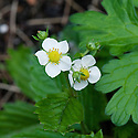 Flowers of Alpine or wild strawberries, mid May.