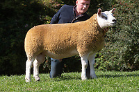1.9.2020 Texel Sheep Society English National Sale<br /> Lot 337 Sportsman Dundee owned by Boden & Davies Ltd sold for 3000 gns<br /> ©Tim Scrivener Photographer 07850 303986<br />      ....Covering Agriculture In The UK.