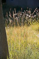 Autumn meadow garden lawn substitute with Agropyron riparium Streambank Wheatgrass, Albuquerque, New Mexico