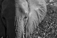 Elephant in Sabi Sands Private Game Reserve, South Africa