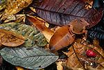 Toad, tropical rainforest, Napo River region, Peru
