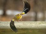 American Goldfinch in flying.