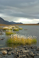 Cotton grass at Folly Lake. North Slope, Endicott Mountains of the central Brooks Range in northern Alaska. 130 miles north of the the Arctic Circle.