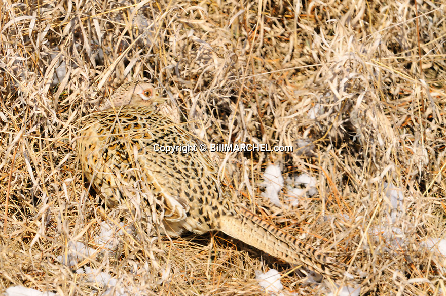 00890-039.20 Ring-necked Pheasant hen displays remarkable crytic coloration as she sits in brown grasses.  Camouflage, camo, hide.
