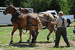 Team of draft horses and driver at Cheshire Fair in Swanzey, New Hampshire USA
