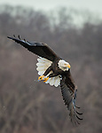 Adult Bald Eagle with a small fish from the river