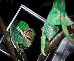 Male Panther Chameleon (Furcifer pardalis) in aggresive posture, displaying at its own reflection in a mirror. From Masoala National Park, north east Madagascar.
