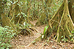 Cockscomb Basin Wildlife Sanctuary, Belize, Central America; Kaway swamp trees (Pterocarpus officinalis) along the Wari Loop of the Cockscomb Jaguar Preserve , Copyright © Matthew Meier, matthewmeierphoto.com All Rights Reserved