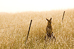 Eastern Grey Kangaroo (Macropus giganteus) female in grassland next to fence, Mount Taylor Nature Reserve, Canberra, Australian Capital Territory, Australia