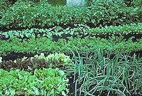 HS18-033b  Vegetable garden - lettuce, onions, carrots.