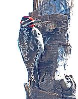 Red-naped sapsucker female