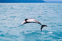 Hector's dolphin, Cephalorhynchus hectori ( endangered ), leaping, New Zealand, Pacific Ocean
