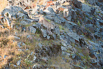 A Canada lynx descends a rocky hill in Denali National Park, Alaska.
