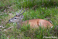 0528-1107  Central American White-tailed Deer, Belize, Male Deer with Velvet Antlers (antlers growing in soft cartilaginous state), Odocoileus virginianus truei  © David Kuhn/Dwight Kuhn Photography