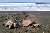 female olive ridley sea turtle, Lepidochelys olivacea, crawls ashore past carcass washed onto beach during arribada ( mass nesting ) Playa Ostional, Costa Rica, Pacific Ocean