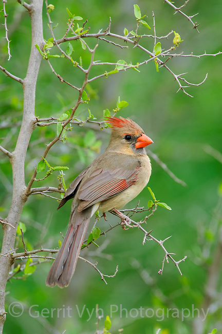 Adult female Northern Cardinal (Cadinalis cardinalis) of the subspecies C. c. magnirostris. Note the large bill of this subspecies. Starr County, Texas. March.