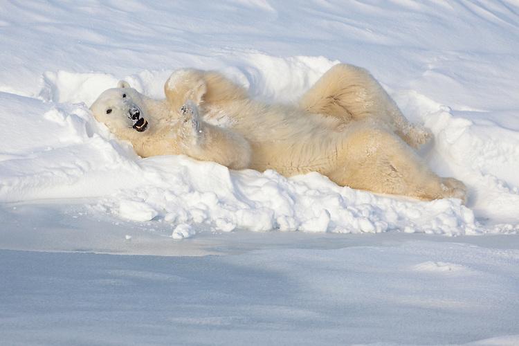 Polar Bear Chillaxin' in the snow