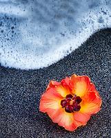 African Tulip tree blossom on black sand beach with wave. Hawaii, The Big Island