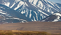 Arctic wolf, Brooks Range, Gates of the Arctic National Park, Alaska.