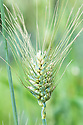 Triticum compactum, early July. Commonly known as Club wheat.