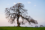 Bare oak at the end of winter on a hill in Amador County, Calif.