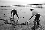 Fishermen digging for Lugworms. Southend on Sea. Essex England 1974