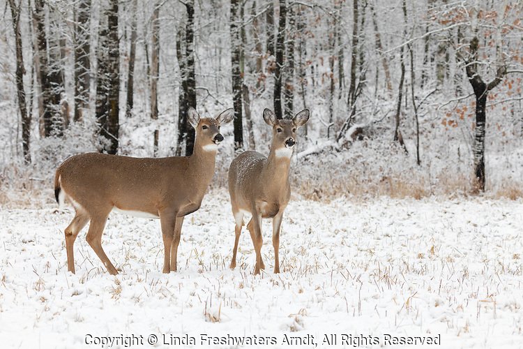 White-tailed does standing at the edge of a wintery forest.