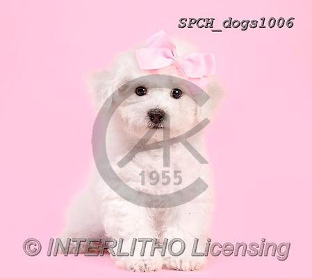 Xavier, ANIMALS, REALISTISCHE TIERE, ANIMALES REALISTICOS, dogs, photos+++++,SPCHDOGS1006,#A#, EVERYDAY