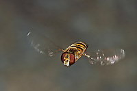 Hain-Schwebfliege, im Flug, fliegend, Gemeine Winterschwebfliege, Winter-Schwebfliege, Hainschwebfliege, Wanderschwebfliege, Wander-Schwebfliege, Schwebfliege, Parkschwebfliege, Episyrphus balteatus, Episyrphus balteata, Syrphus balteatus, marmalade hoverfly, Le Syrphe ceinturé, Syrphe à ceinture, Syrphe à ceintures