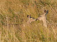 Black-tailed doe and fawn, Odocoileus hemionus, Point Reyes National Seashore, California