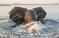 African Elephant (Loxodonta africana), bull in the Chobe River gets angry at the very near boat with the photographer, in the last light of the evening, Chobe National Park, Botswana, Africa
