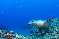 male Hawaiian monk seal, Neomonachus schauinslandi ( critically endangered endemic species ), Lehua Rock, Niihau, Hawaii, USA, Pacific Ocean