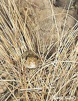 0519-1102  Gopher Snake (Pine Snake, Bull Snake), North American, Pituophis catenifer  © David Kuhn/Dwight Kuhn Photography