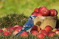 Blue Jay (Cyanocitta cristata) in autumn backyard with MacIntosh apples. Nova Scotia. Canada.