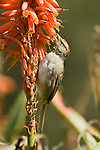 ZONOTRICHIA LEUCOPHRYS, IMMATURE WHITE-CROWNED SPARROW ON ALOE