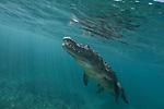 American Crocodiles, Crocodylus acutus, Cuba Underwater, Jardines de la Reina, Protected Marine park underwater