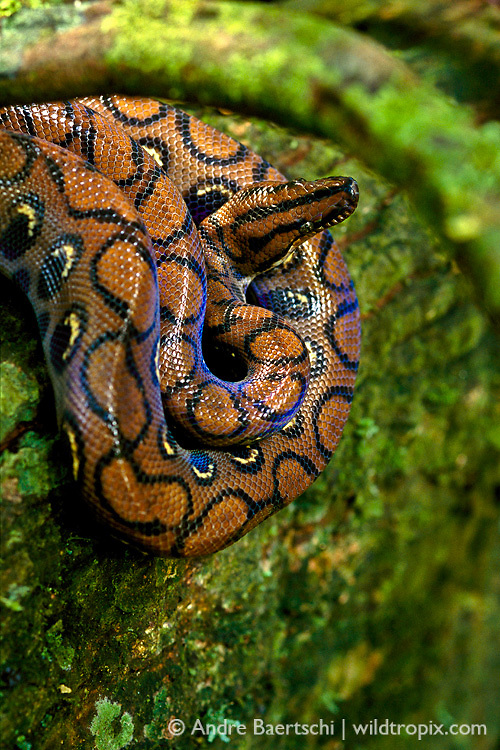 Rainbow Boa (Epicrates cenchria cenchria) curled on a liana at the base of a tree in lowland tropical rainforest, Manu National Park, Madre de Dios, Peru.