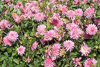 Dahlia 'Piper's Pink'