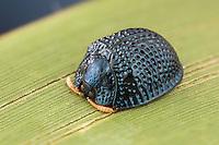 A Palmetto Tortoise Beetle (Hemisphaerota cyanea) perches on a Saw Palmetto leaf in Highlands Hammock State Park, Sebring, Florida.