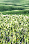 Image of green rolling wheat fields with close up of wheat in the Palouse region of Washington farm country.