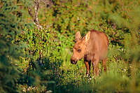 moose, Alces alces, newborn calf on the Kenai Peninsula, southcentral, Alaska, USA