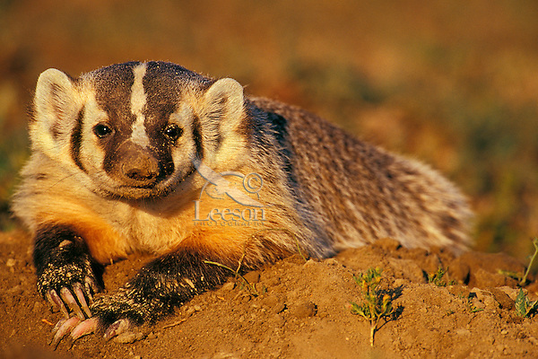 Badger (Taxidea taxus).  Lostwood NWR, North Dakota.  Summer.