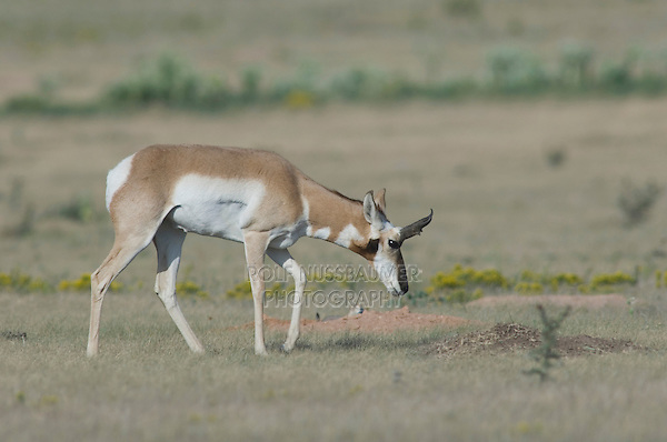 Pronghorn, Antilocapra americana, male with Prairie Dog in background, Lubbock,Texas,September 2005