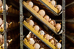 """July 24, 2015. Candor, North Carolina.<br />  After arrival, the eggs are quickly put into large incubators, or """"setters"""". Each setter holds around 87,000 eggs, ranging from 0 days old, to 18.5 days old. The eggs are rotated once an hour to move the more mature eggs around the room, providing CO2 which helps the younger eggs.<br />  Chicken producer Perdue Farms Inc. has become the first major poultry company to attempt to raise more than half of its flock with no antibiotics, human or for animals only. As demand for meats free of medicines has risen, Perdue has upgraded their facilities to increase cleanliness and sterility to allow the company to cut antibiotics out of the chicken hatching process."""